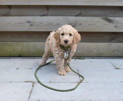 snelle uitlater, mattie, legegroen, uitlater pup, puppy, labradoodle, pup uitlaten, lijn van paracord