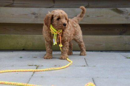 snelle uitlater, snoet, geel, uitlater pup, puppy, labradoodle, pup uitlaten, lijn van paracord
