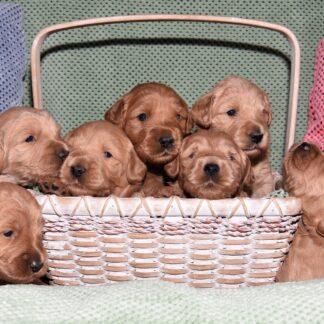 Pups-verzorging eerste 8 weken