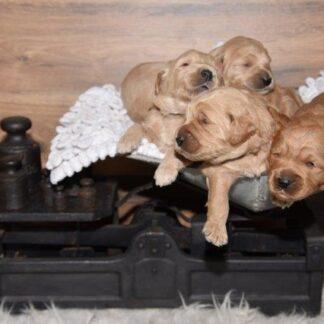 pups, puppypakket
